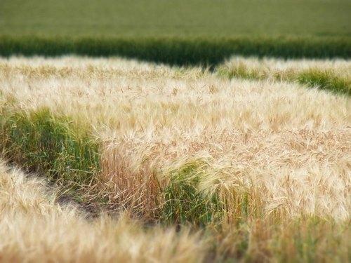 大麦畑.jpg